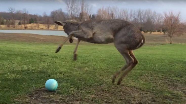 un daim veut jouer au ballon [video] - http://www.2tout2rien.fr/un-daim-veut-jouer-au-ballon-video/