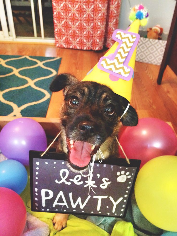 Moka's first birthday! First birthday dog birthday hat diy lets pawty