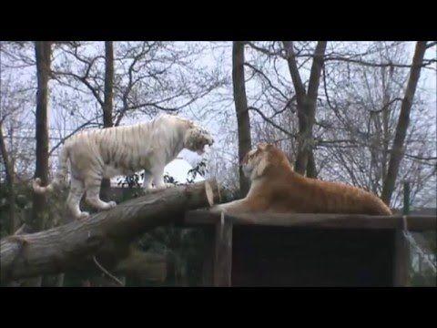 Olmense Zoo, van Gouden tot Witte tijgers