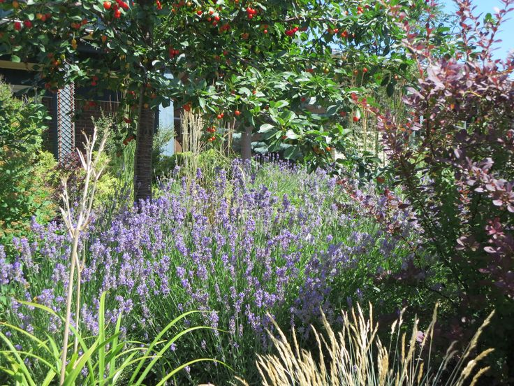 Lavender - unbelievably it's hardy and thrives here.
