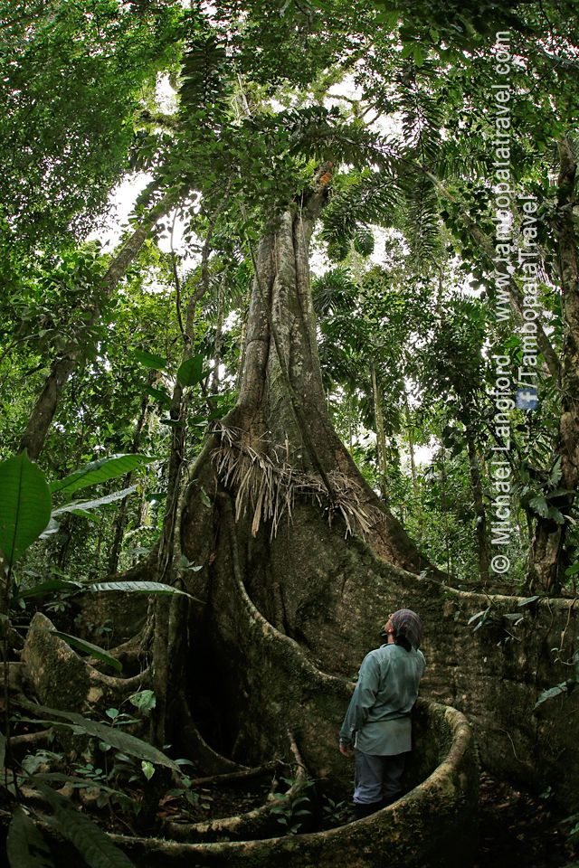 Tired of a one-way relationship?  Come to the Tambopata rainforest with us & let a tree hug you! Tambopata Travel: www.tambopatatravel.com #peru #tambopata #tree #travel #rainforest #experience #hug