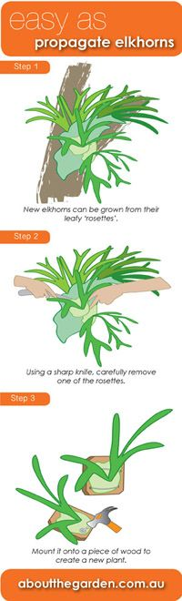 EASY AS propagate elkhorns    Elkhorns are easily propagated from the rosettes that form on the front of the plant. With a sharp kitchen knife or similar implement, carefully remove one of the rosettes and attach it to a hardwood backing board. The plant can be nailed directly onto the board with flat-headed galvanised nails through 30mm washers.     #aboutthegarden.com.au