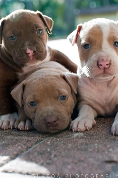 Baby Pitbull Puppies 3 - Click image to find more animals Pinterest pins