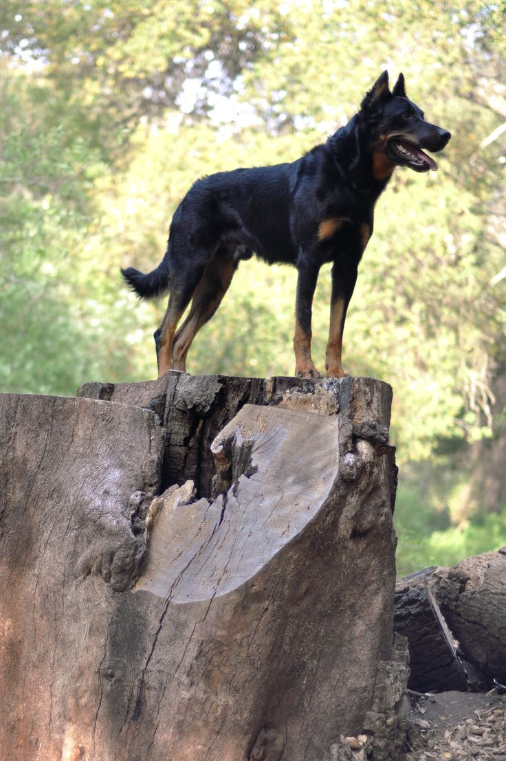 Beauceron, Bas Rouge, Berger De Beauce
