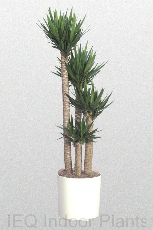 Best Indoor Palm Trees - Yucca Palm Place near window/door where it can get indirect sunlight.