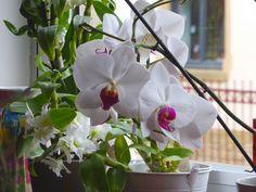 Fiche conseil : Comment faire refleurir une orchidée ? | Conseils de jardinage pour jardiniers et curieux de nature