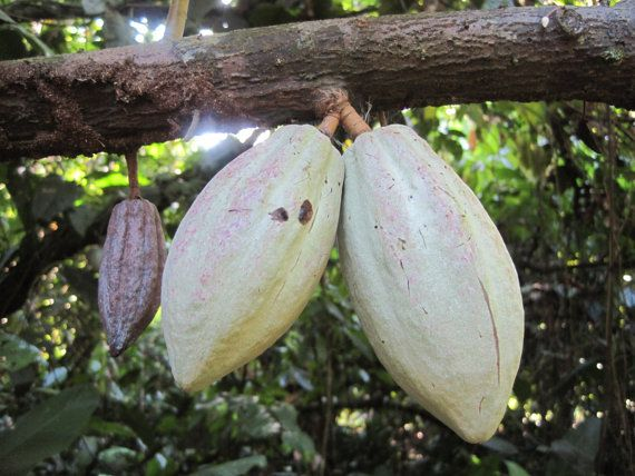 Organic Cacao Seeds: grow your own chocolate! Heirloom, Matina variety from our farm. Chocolate trees, Organic Theobroma Cacao seeds