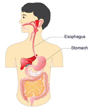 Diagram of esophagus, stomach and digestive system