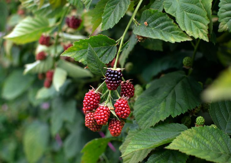 Discover Tasmania's 'mighty fine edibles' on the Cradle to Coast tasting trail, like blogger Jon Bek did. #berries #tasmania #discovertasmania