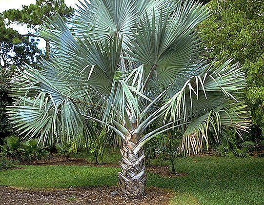 All Types of Palm Trees | Florida Palm Trees - Orlando, FL