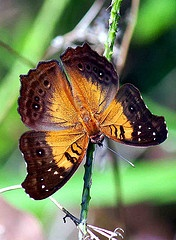 I enjoy watching Graceful Butterflies in my own Fl botanical yard .