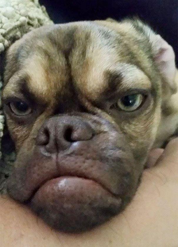 grumpy-dog-earl-puggle-meme-3