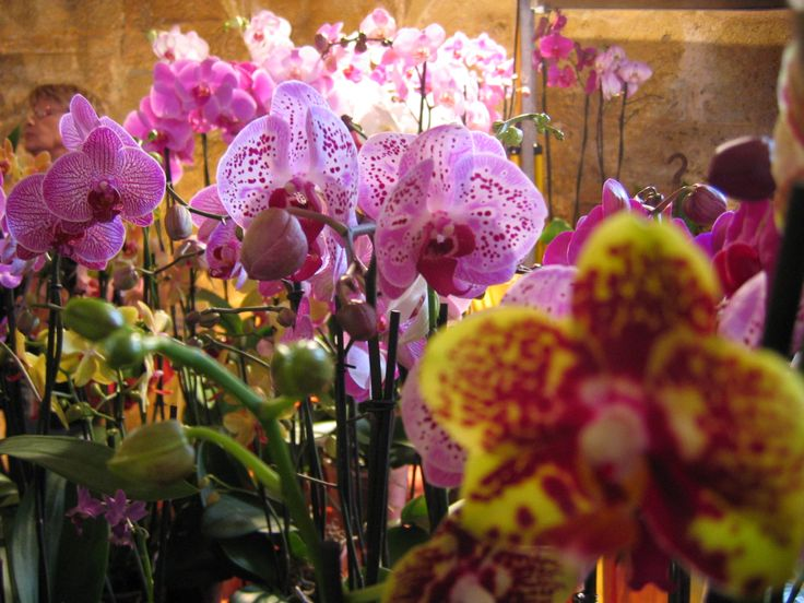 Orchidées à Fontfroide