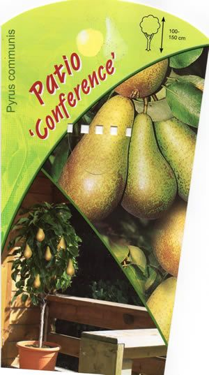 Patio Dwarf pear tree 'Conference' (pyrus communis) Patio Fruit tree
