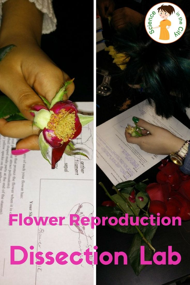 Two versions of a flower reproduction lab. One version is a more traditional lab, and the other is slightly more open-ended, or inquiry based.   Both versions allow for hands-on examination of the parts of a flower and how they reproduce, and then ask analysis questions and ask the student to draw conclusions about their findings.   Also includes suggested classroom uses, additional links, etc.