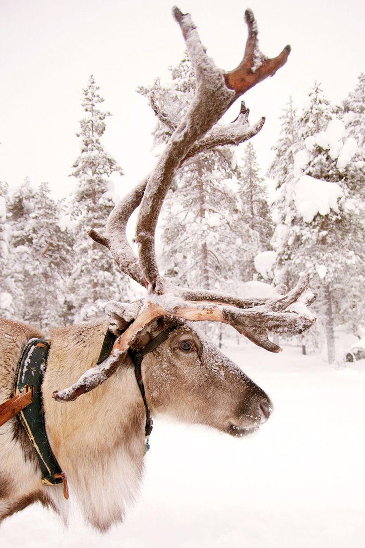 Zo'n 70 centimeter sneeuw. Die de bomen doet buigen, maar ook vooral voor extreem vermaak zorgen. Op pad met hongerige huskies, jagen op het noorderlicht en rijden met sneeuwscooters.