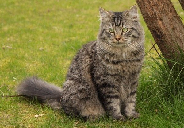 145 Best Images About Cats On Pinterest Cats American