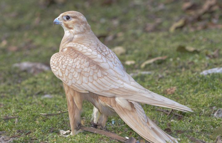 The Yellow Gold Saker Falcon | Gallery | Exclusive Falcons