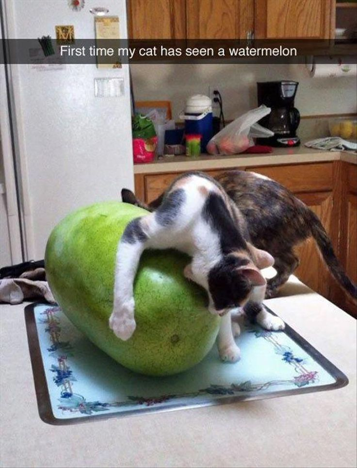 Cat, Kitten, Dog, Watermelon, Dog breed, Image: ih First time my cat has seen a ...