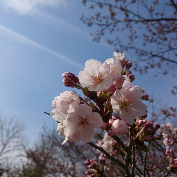 2017桜…