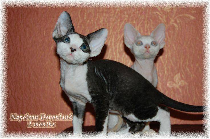 Питомник девон рексов DEVONLAND: Наполеоша - котенок девон-рекс, открыто резервиров...
