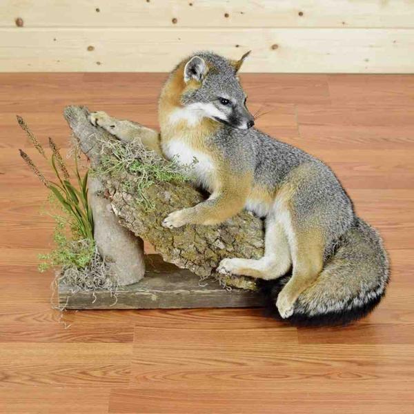 Gray Fox Taxidermy Display - SW4047