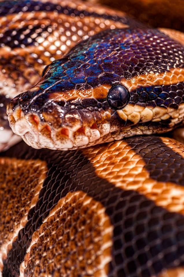 Célèbre Best 25+ Python regius ideas on Pinterest | Ball python, Ball  UI59