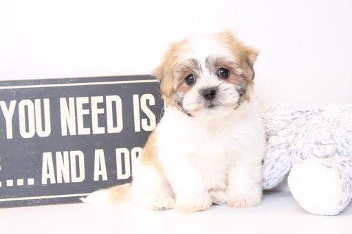 Zuchon puppy for sale in NAPLES, FL. ADN-28824 on PuppyFinder.com Gender: Female. Age: 11 Weeks Old