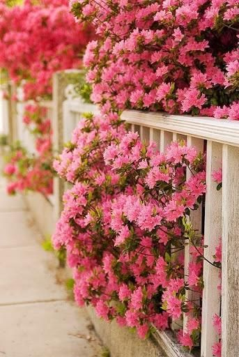Azaleas | I miss our back yard full of these. The baby pink were always my favorite