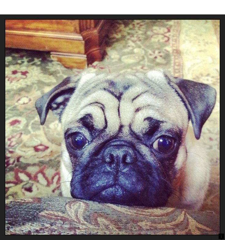 Read Information On Pug Rescue Near Me Check The Webpage For More