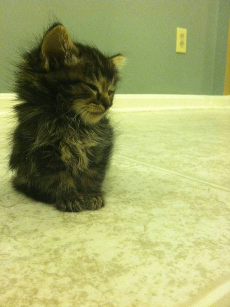 so fluffy!: Ball, Kitty Cat, Maine Coon, Pets, Baby Kittens, Fur, Adorable, Animal, Baby Cat