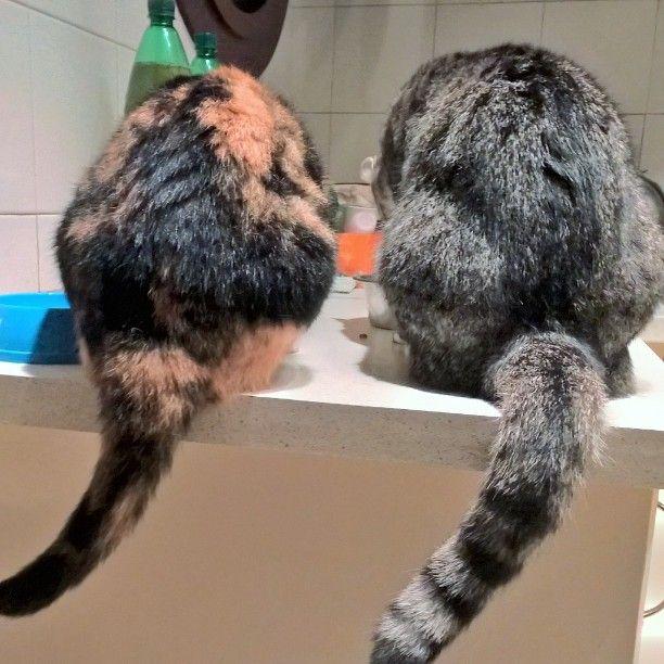 #latoB #code di #gatto  #cat's #tail #chat #retro #backs #bottoms #instacat #animali #threecolors #trecolori #gatta #Sirca e #Murca