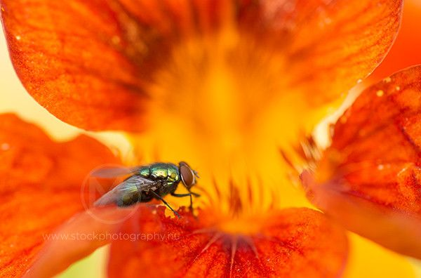 Golden dung fly on an orange flower  © Arno Enzerink / www.stockphotography.nu All rights reserved.