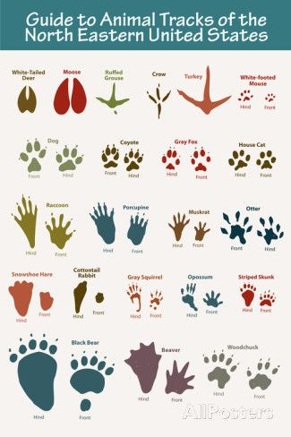 Animal Tracks of the North Eastern United States Poster Prints at AllPosters.com