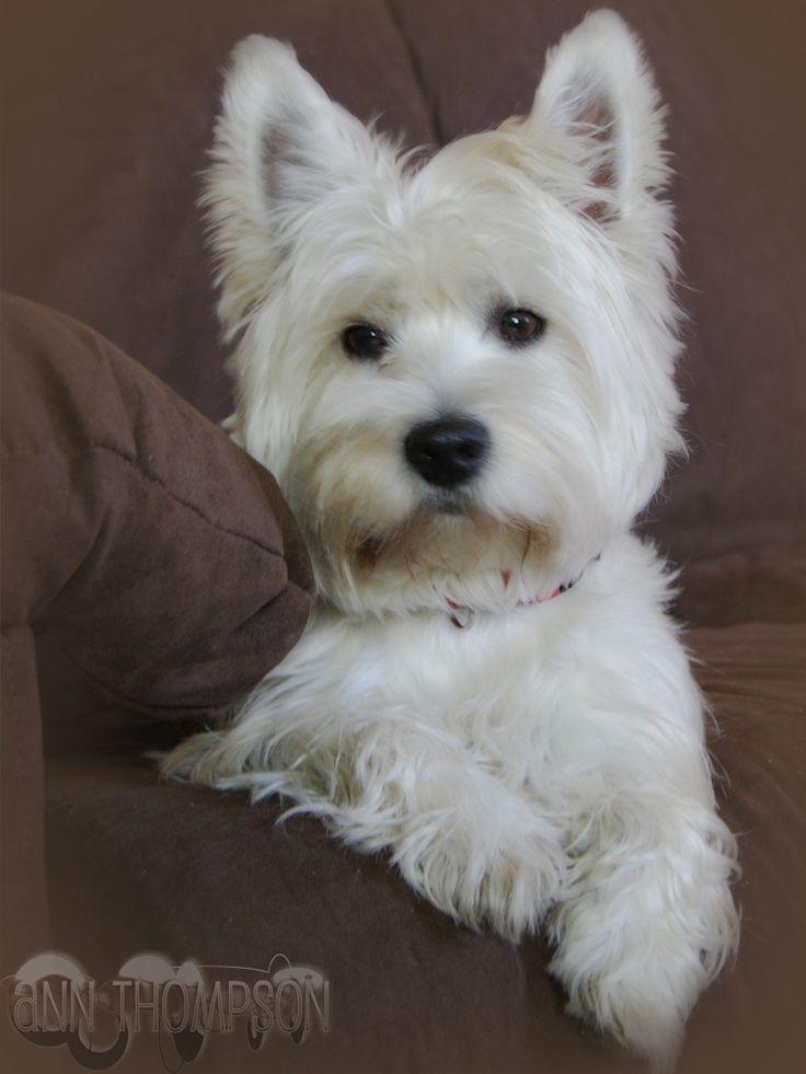Top 10 Best Hypoallergenic Dog Breeds | todo lo que amo 6 ...