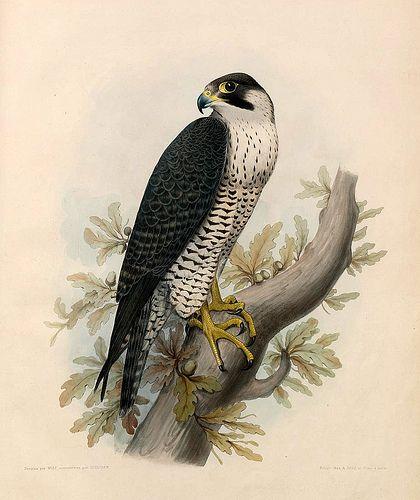 012- El halcon Hagard- Traité de fauconnerie..1853- Hermann Schlegel- Universität Düsseldorf