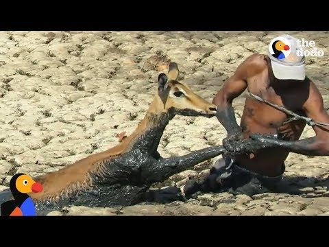 Man Uses His Own Safety Rope to Rescue Impala Stuck in Mud | The Dodo  Published on Oct 5, 2017