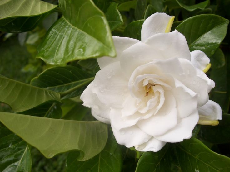 The Gardenias that grow at your front door are just beautiful.  They smell so lovely.  It just would not seem like home without them.