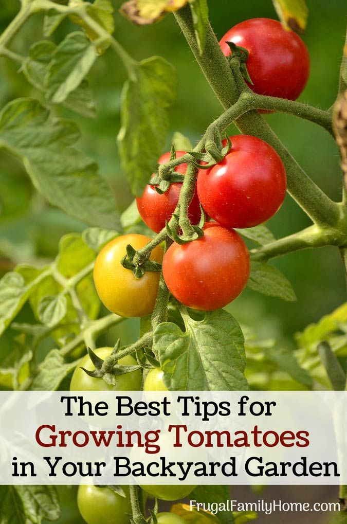 how to grow cherry tomatoes in singapore