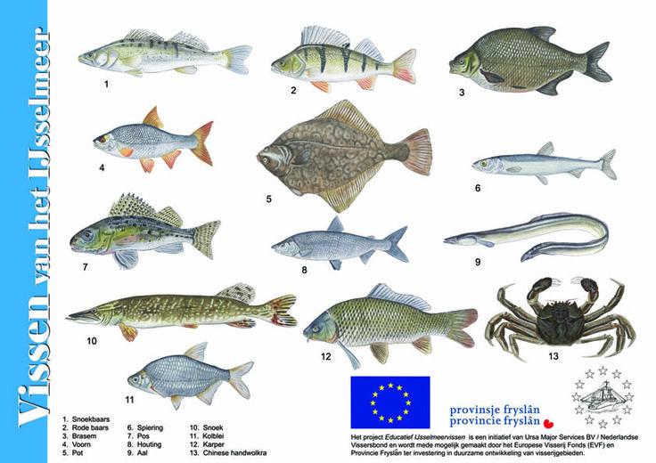 Herkenningskaart Vissen van het IJsselmeer gemaakt voor de Nederlandse Vissersbond.