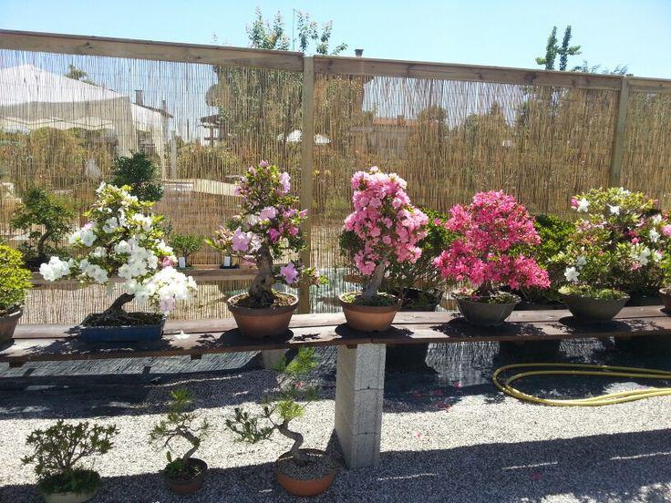 Bonsai di azalea in fiore.. #bonsaicoloredoriente #azaleabonsai