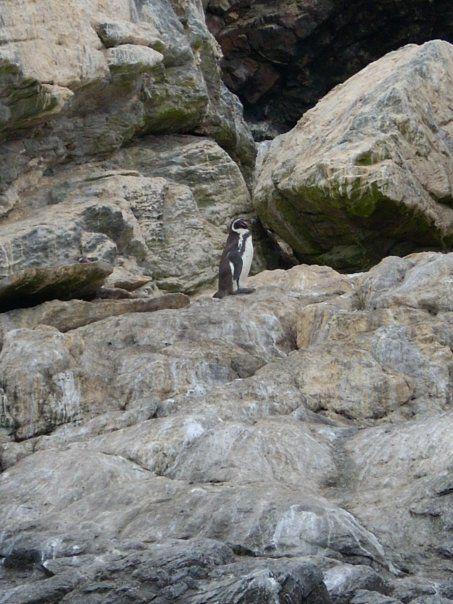 Pingüino de Humboldt - Habita en la Reserva Nacional Pingüinos de Humboldt Chile ESPECIE EN PELIGRO DE EXTINCIÓN (photo taken by my)