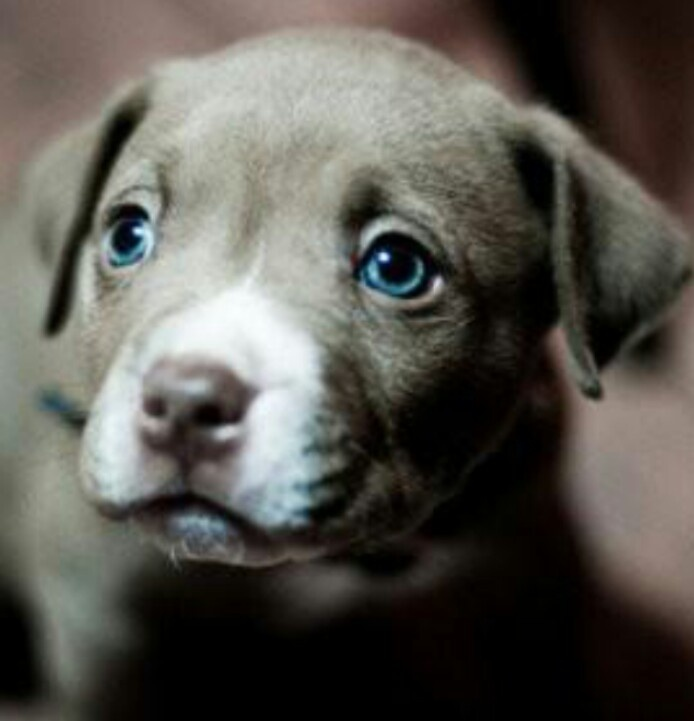 Blue Eyed ~ Pit Bull Pup | Cute babies! | Pinterest | A ...