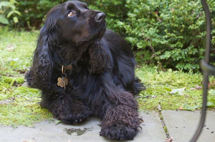 A solid-black-coloured Field Spaniel.