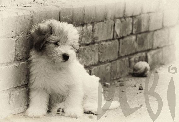 Coton de Tulear puppy Print in Sepia, Male white puppy ...