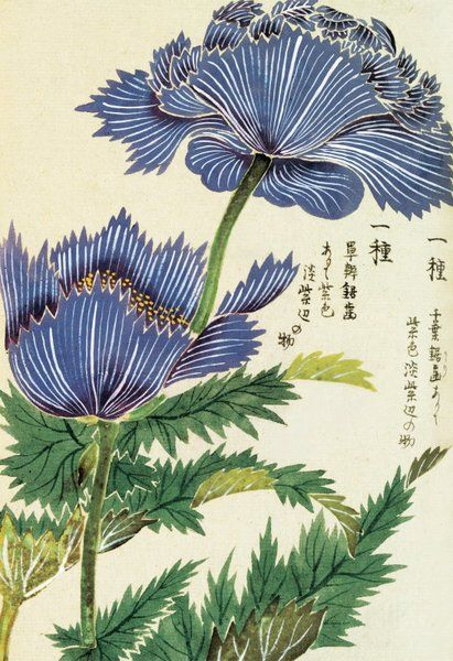 """Blue Flower"" Honzo Zufu [Illustrated manual of medicinal plants] by Kan'en Iwasaki (1786-1842). Wood block print and manuscript on paper. Japan, 1828 © The Trustees of the Royal Botanic Gardens, Kew"