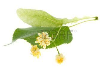 feuille de tilleul: Fleurs de tilleul isolé sur blanc