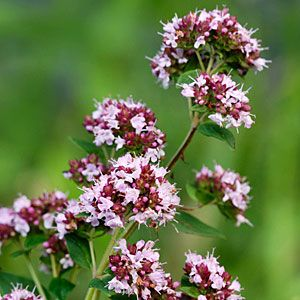 Just starting to come up in our herb garden here at the Wickaninnish Inn, Oregano. Delicious, fragrant and  it draws bees and hummingbirds.