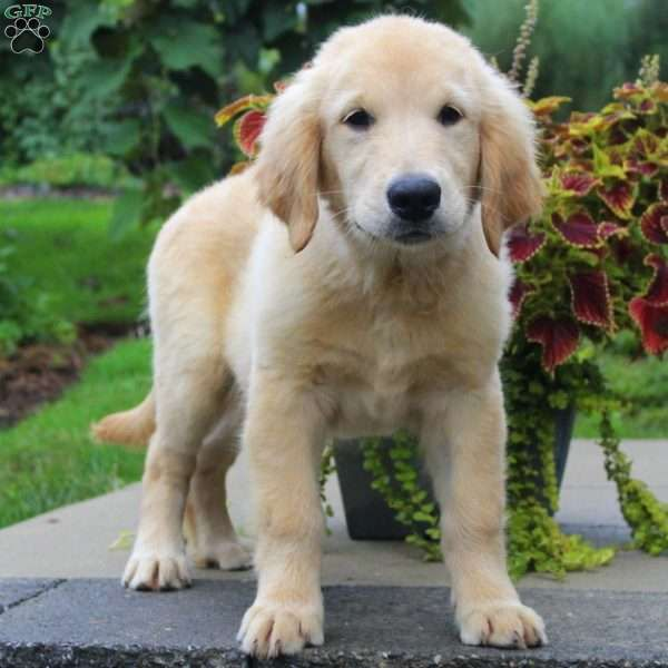 Lance Golden Retriever Puppy For Sale In Pennsylvania With