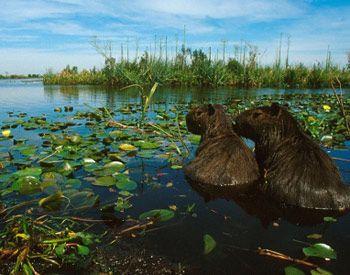 Carpinchos en los Esteros del Iberá